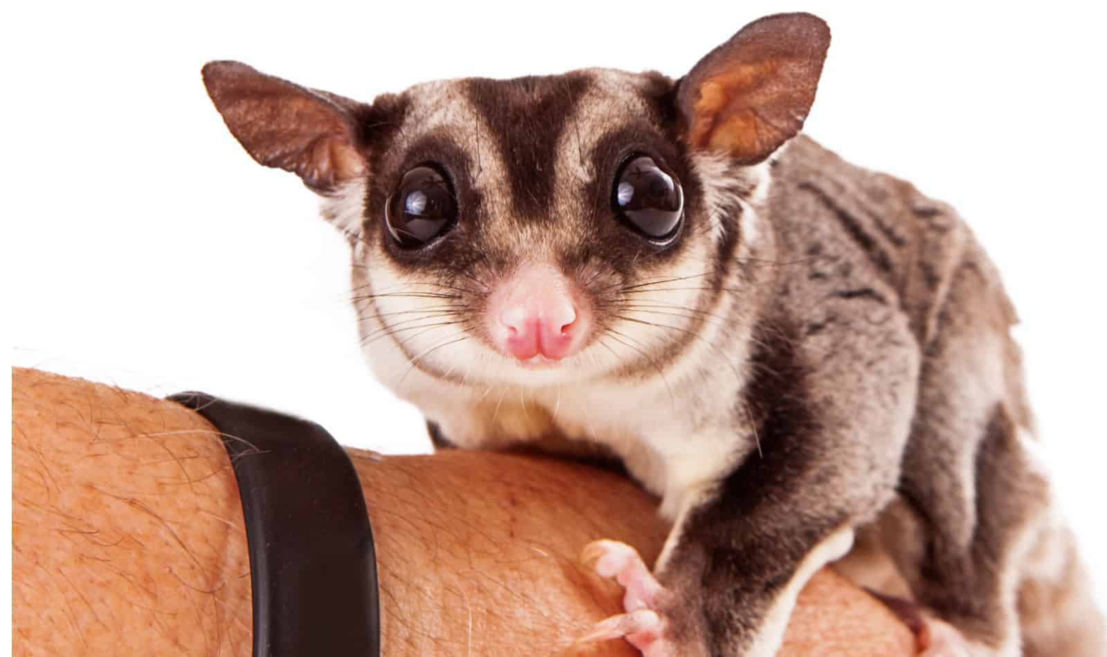 Thinking about getting a pair of cinnamon sugar gliders to add to your fur family? Here is everything you need to know about them!