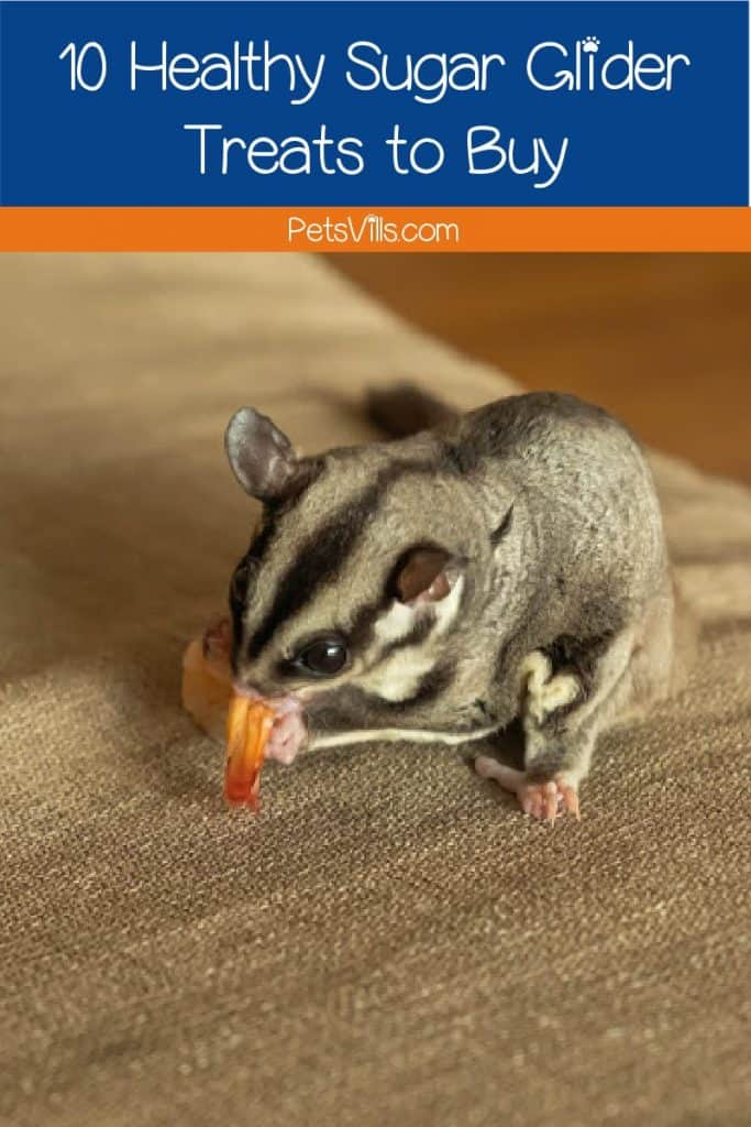 Looking for some amazing healthy sugar glider treats that you can buy online? Check out our top 10 picks that our own gliders love!
