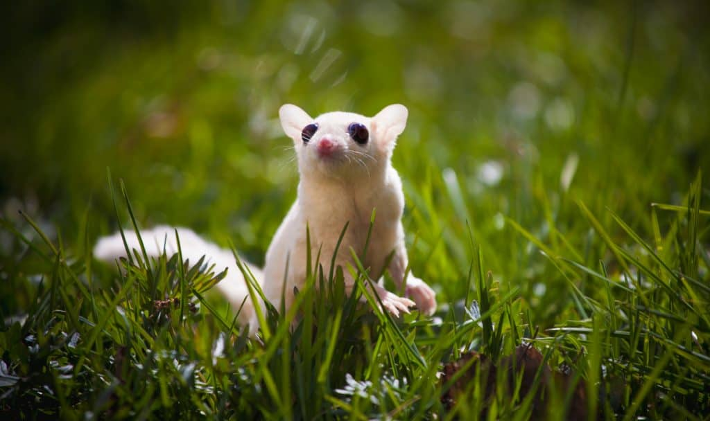 Are having trouble deciding whether a leucistic sugar glider is right for your family? Check out our complete guide to this unique pet!