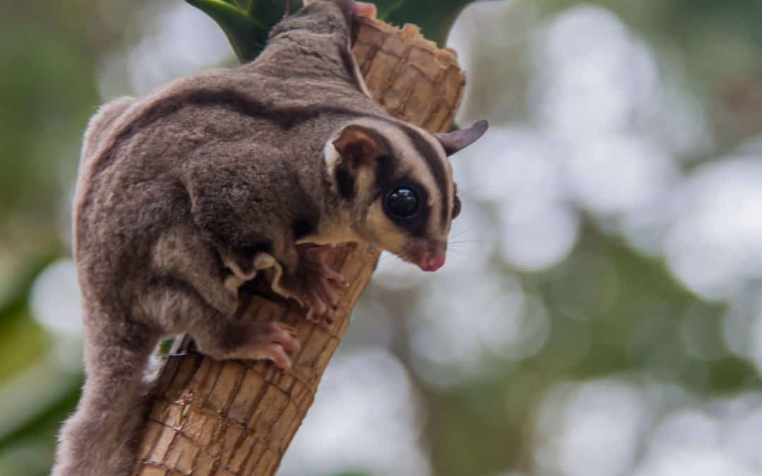 Complete Guide to the Red Sugar Glider