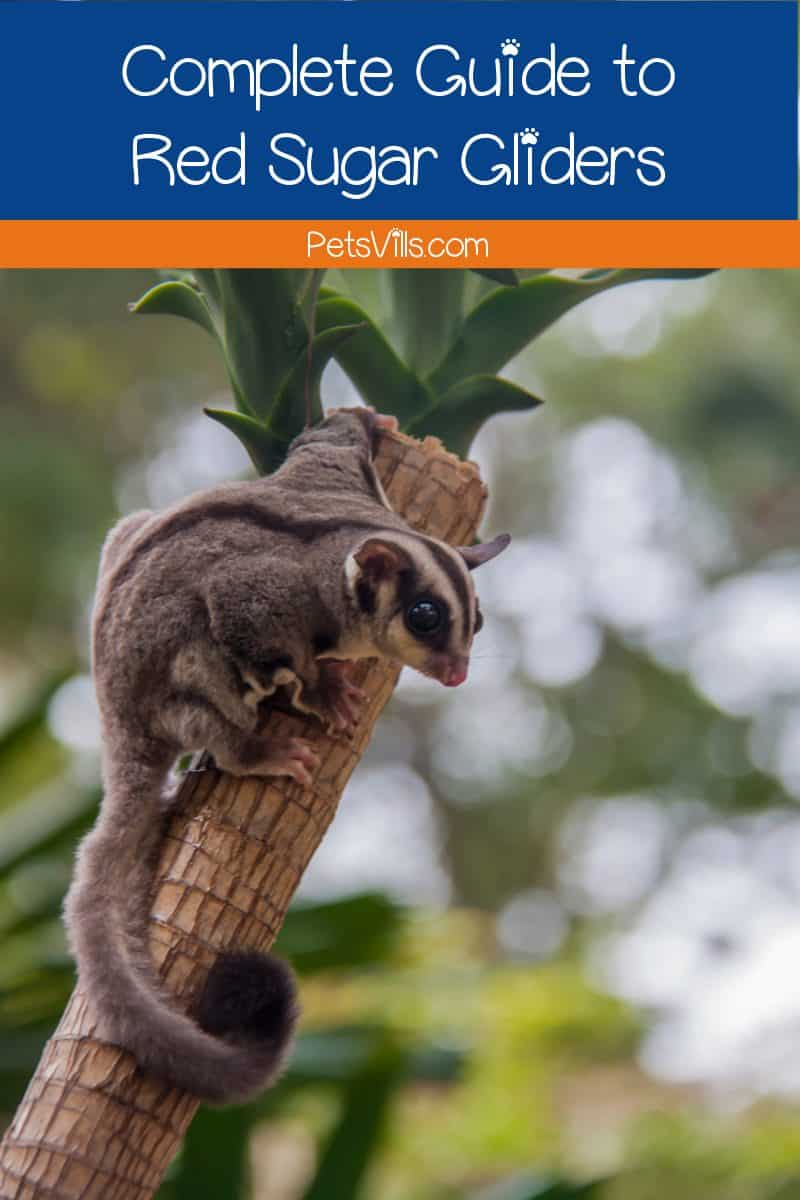 Are you trying to decide whether a red sugar glider is a suitable pet? Check out our complete guide to these cute little marsupials!