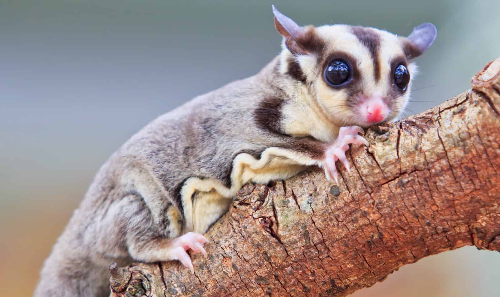 Curious about the different types of sugar glider breeds and colors? Check out our guide to the 17 variations for these unique exotic marsupials!