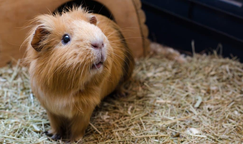 If you're looking for some great guinea pig names starting with P, come on in! We narrowed down thousands to our top 100 favorites!