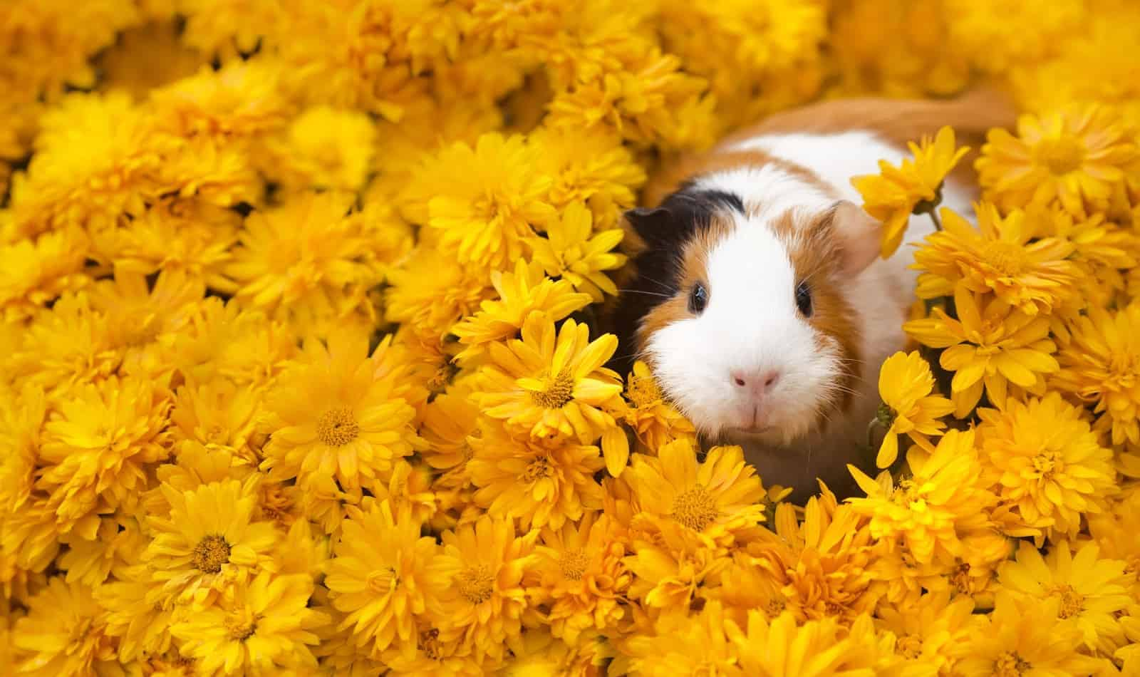 Want to know how to tell if your guinea pig is happy? Read on for the top 7 surefire signs of a blissful cavy!