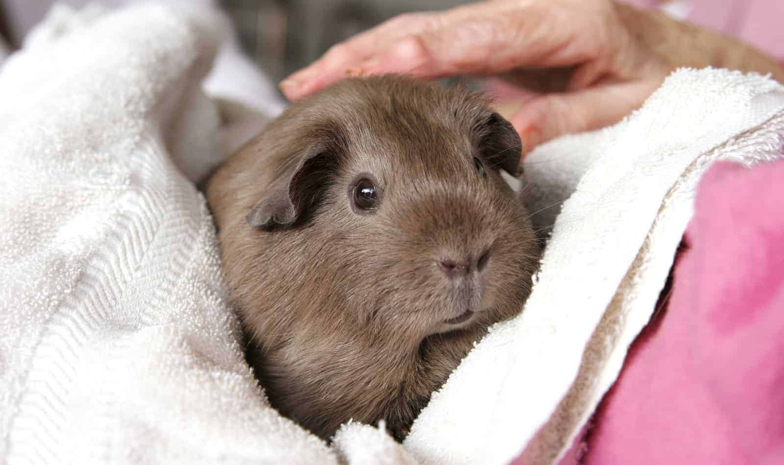 Looking for tips on how to help your guinea pig live longer? Check out our guide to getting more time with your beloved cavy!