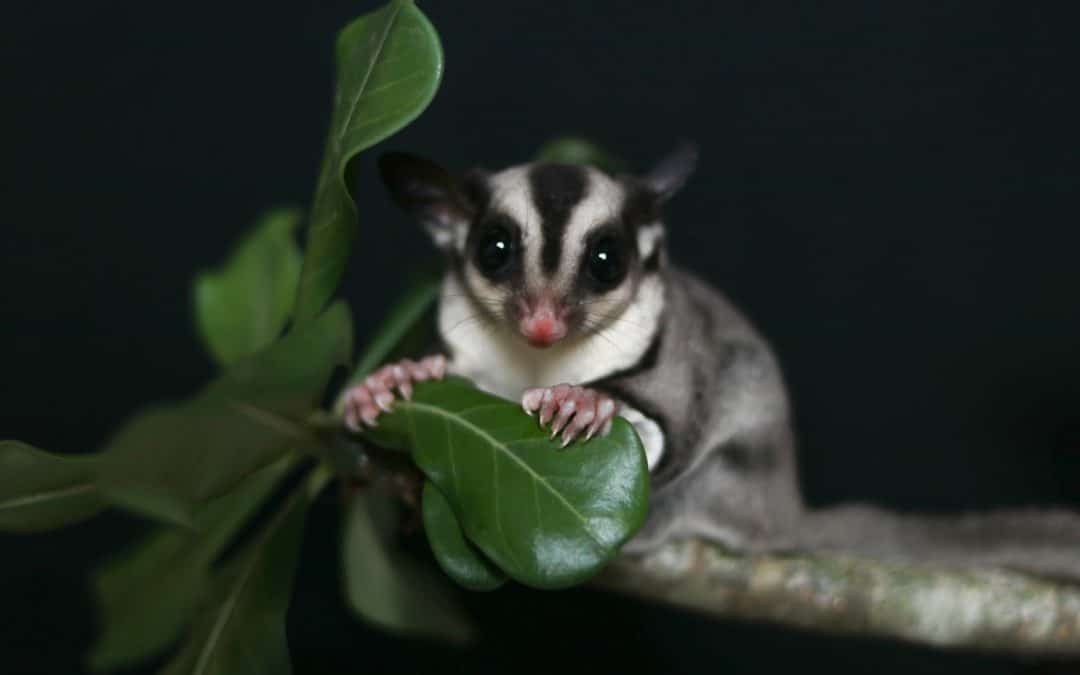 Where to Find Sugar Gliders for Adoption in the US (Including Free Ones)
