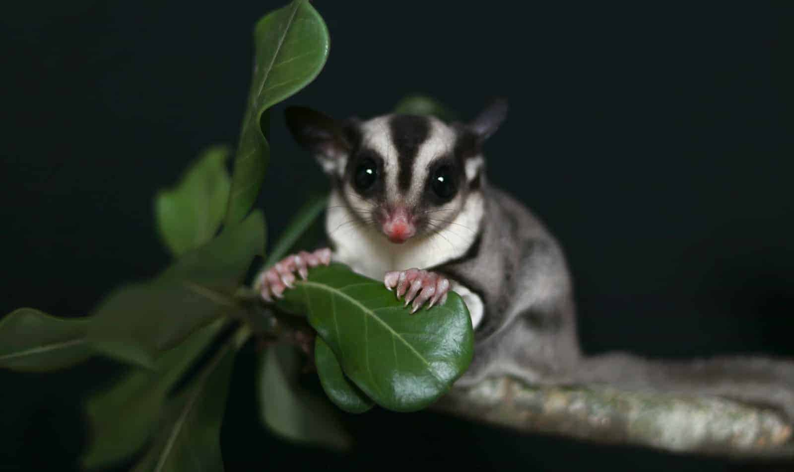 Looking for low cost or free sugar gliders for adoption in the US? Check out these resources for finding reputable breeders & rescues!
