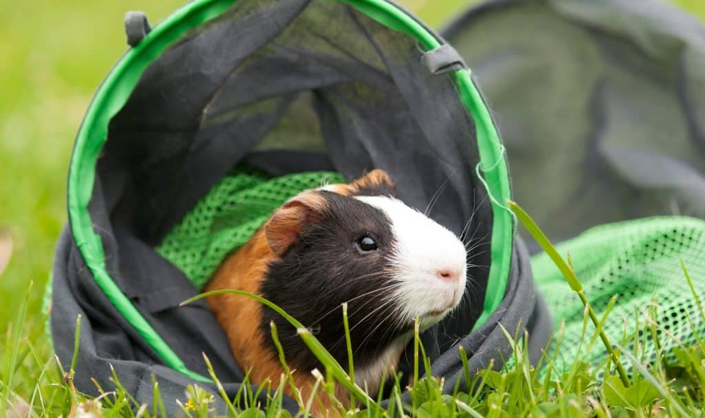 These boredom buster ideas for your guinea pig will help her live the best life possible. Check them out and try some today!