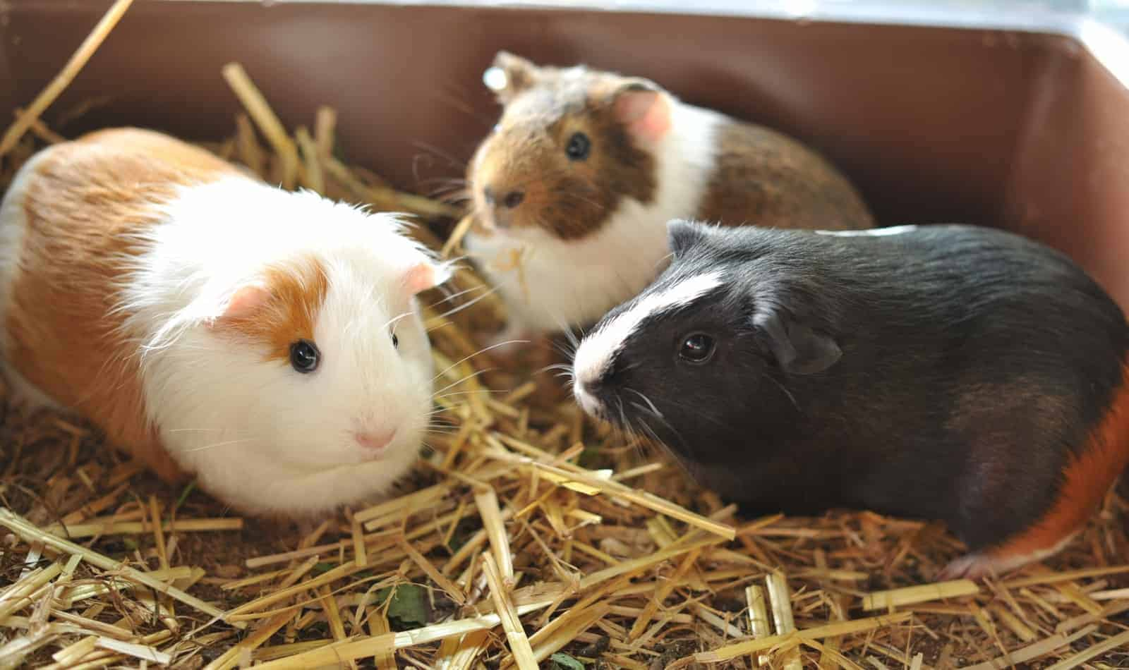 guinea pig names by color for your pet