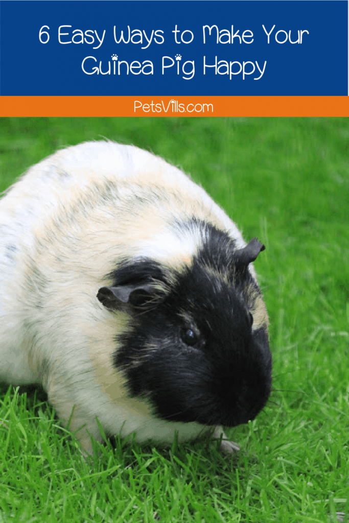 Looking for ways to make your guinea pig happy? I've got you! Check out these 6 easy things every cavy owner needs to be doing! https://petsvills.com/make-guinea-pig-happy/ #pets #guineapigs