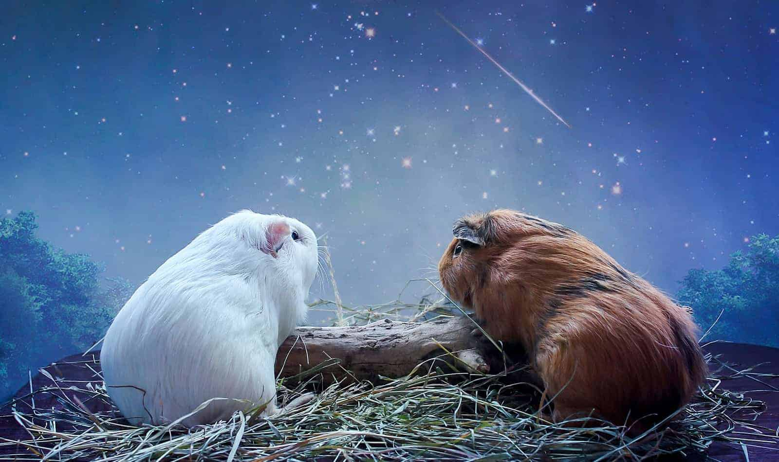 If you're looking for some mystical guinea pig names, get ready to be wowed! We came up with 100 magical ideas. Check them out!