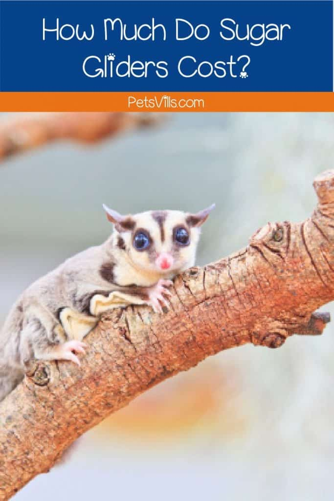 We're taking a look at sugar glider cost estimates to find out how much you'll spend on adoption, long-term care & more. Check it out!