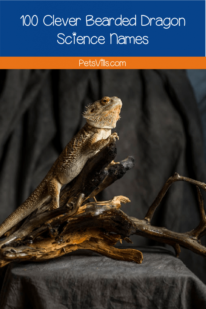 Looking for some bearded dragon science-themed names? You came to the right place! We have 100 recommendations for your charming pal!