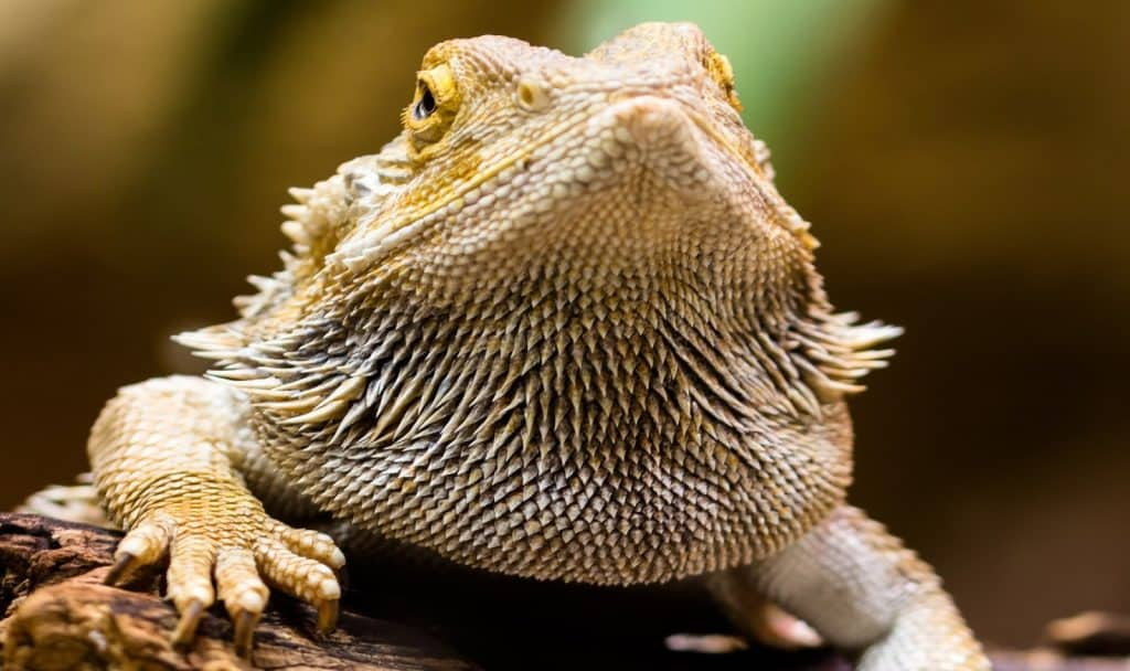 front view of a fat bearded dragon matches bearded dragon science-themed names