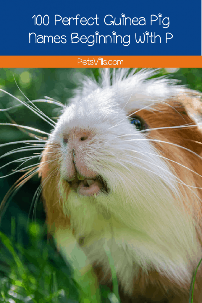 Looking for guinea pig names beginning with P? You come to the right place! We provide 100 ideas for girls and boys that you will surely love!