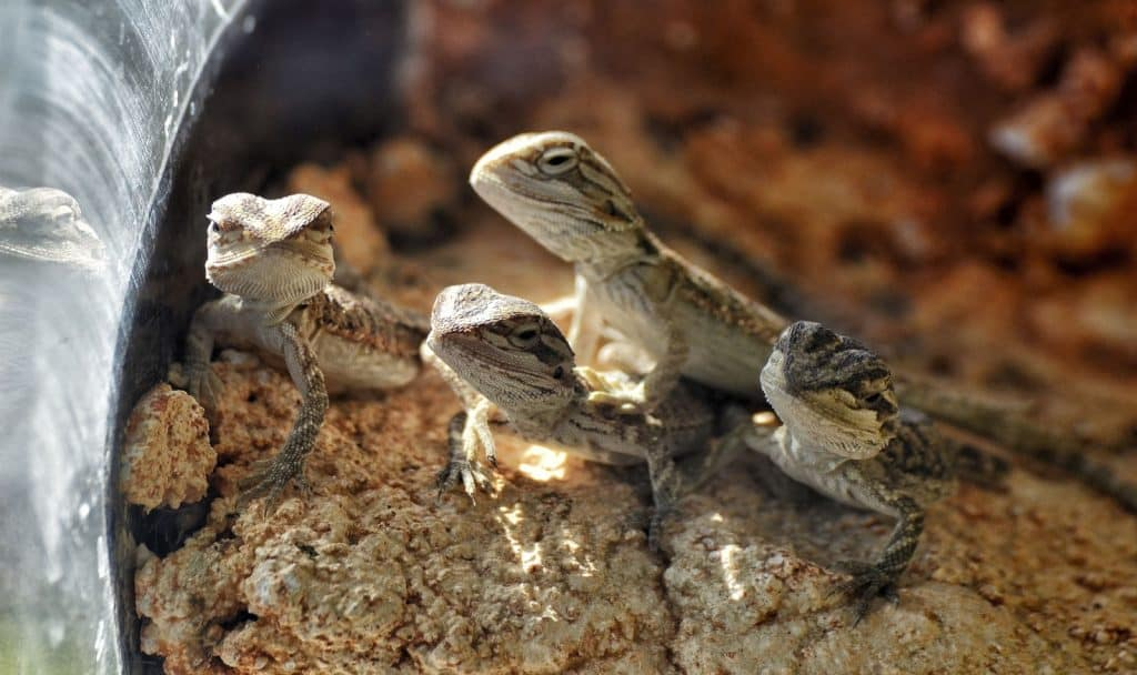 baby bearded dragons in their dig box substrate