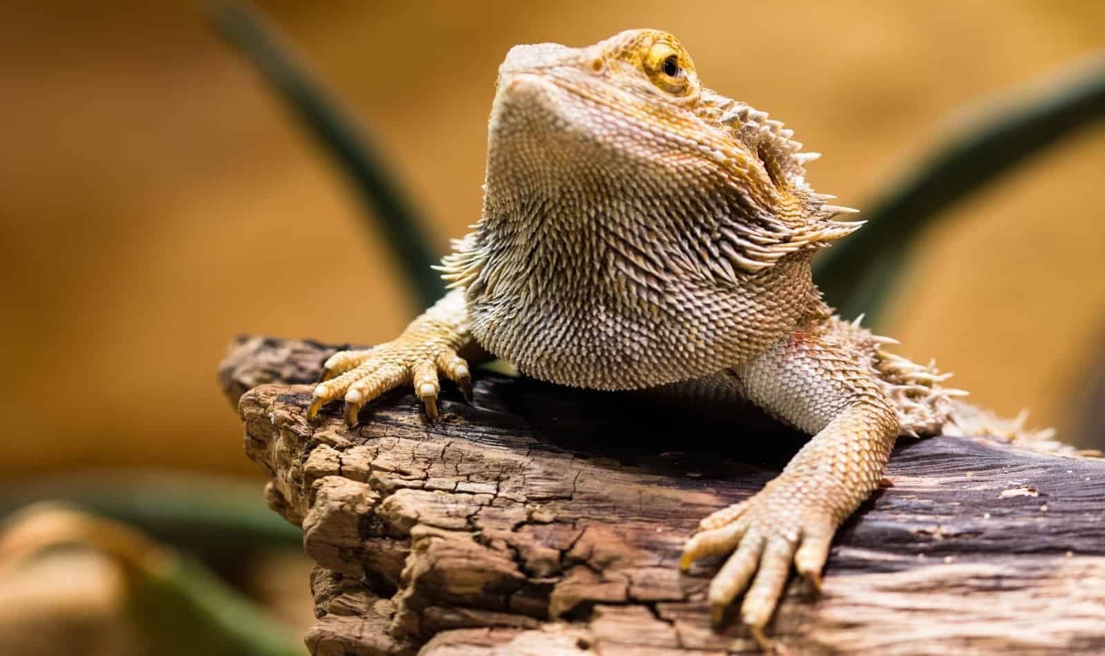 a cute yellowish bearded dragon that matches bearded dragon science themed names