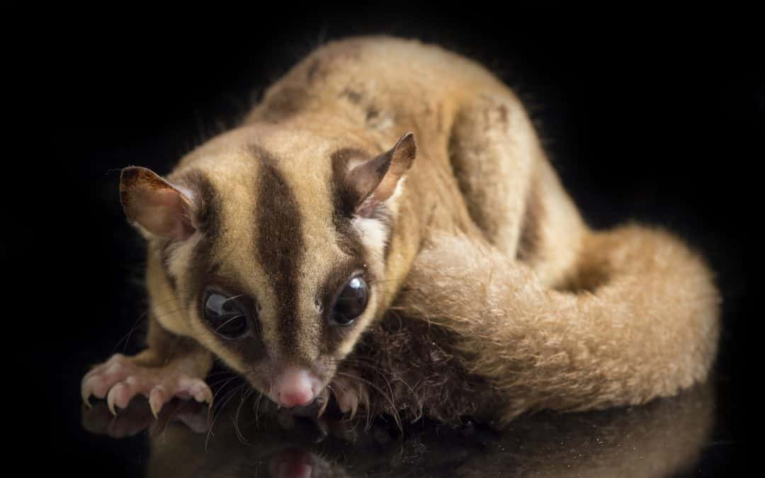 Complete Guide to Sugar Glider Travel Cages: Top 5 Options (with Reviews)