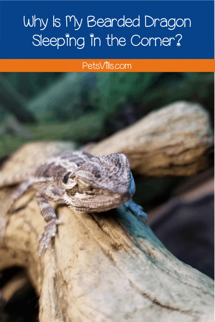 Why is my bearded dragon sleeping in the corner? Are they lazy or just lethargic? Read on to find out the reasons behind your pet's behavior!