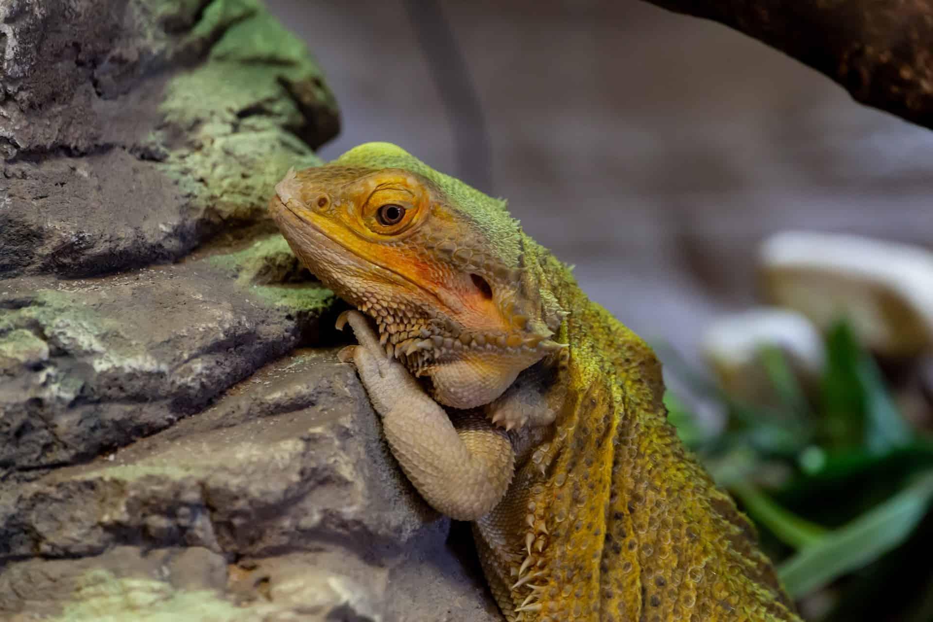 Australian bearded dragon climbing a rock