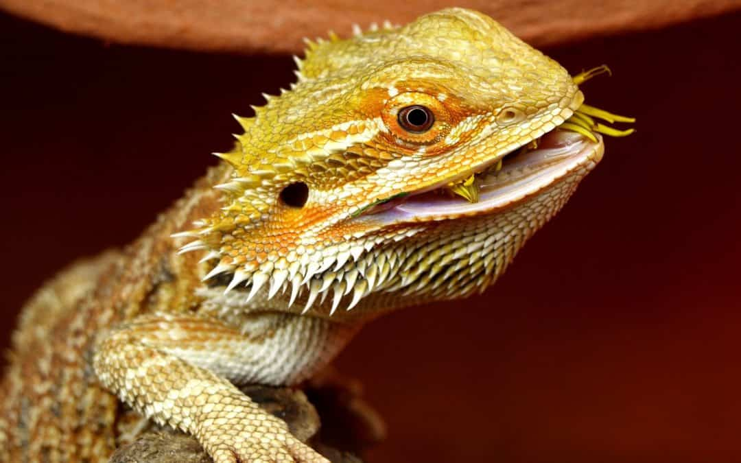 100 Mystical Bearded Dragon Harry Potter Names