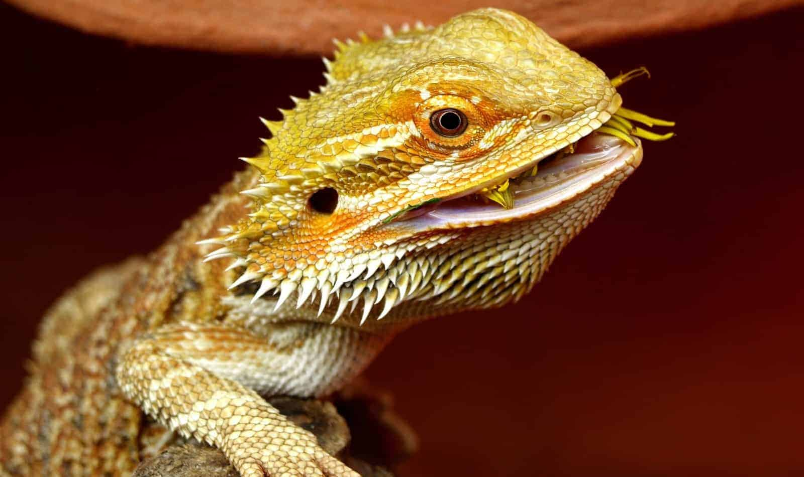 a gold bearded dragon perfect for harry potter name