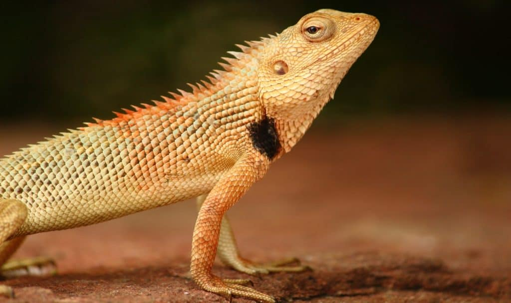 close-up shot of a bearded dragon facing right: bearded dragon names from movies