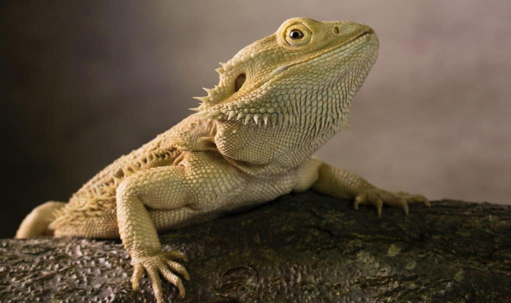 brown bearded dragon on a tree trunk matched with bearded dragon names from movies