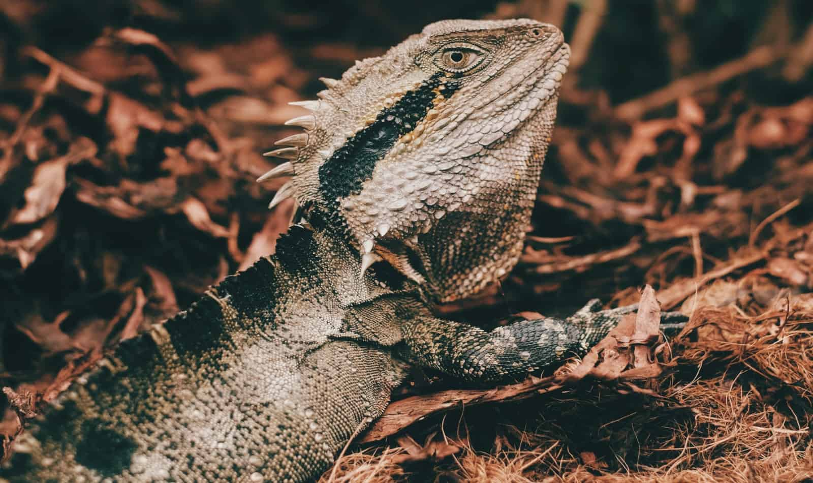 brown and black bearded dragon: can he eat fish?