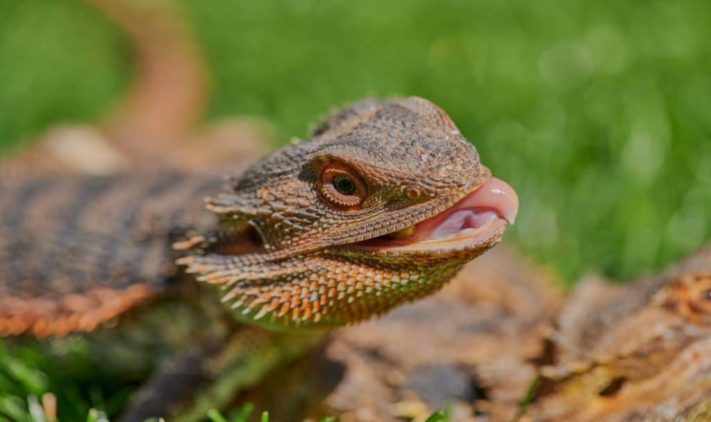 an interesting fact that bearded dragon is eating june bugs