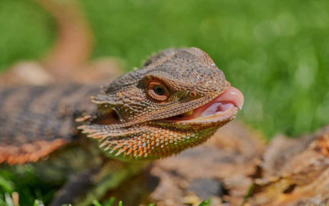 Can Bearded Dragons Eat June Bugs? [Plus Other Foods to Eat]