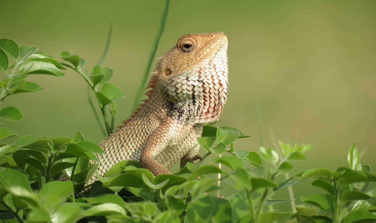bearded dragon surrounded by grasses: can he eat nightcrawler?