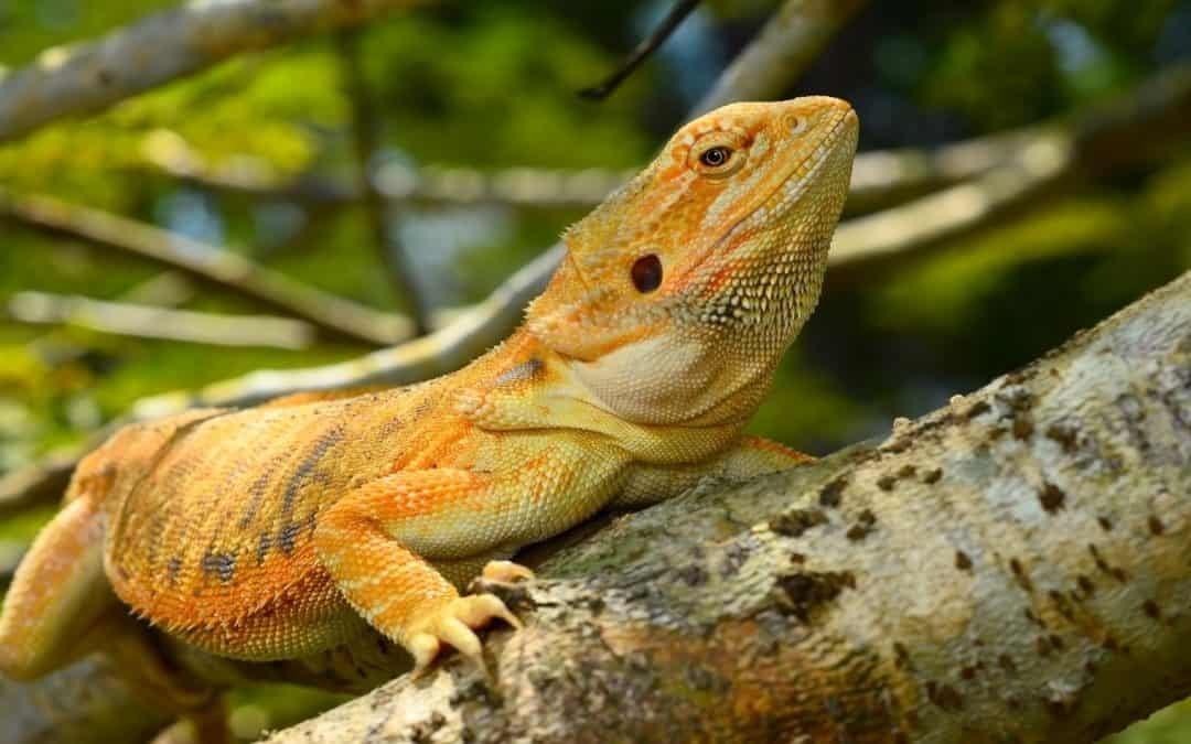 Can Bearded Dragons Eat Wasps, Bess, or Spiders?