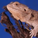 bearded dragon sitting on a branch