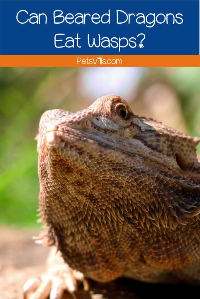 text on blue background says can bearded dragons eat wasps