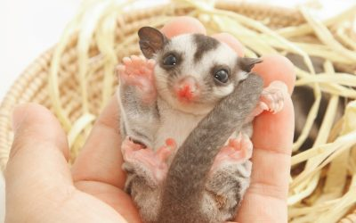 Complete Guide to Cleaning a Sugar Glider Cage