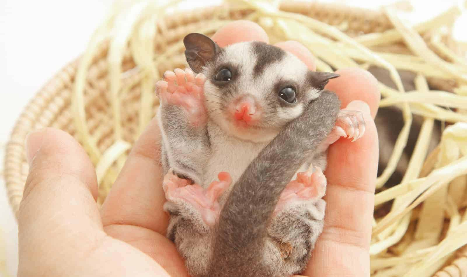 cleaning a sugar glider cage for a baby glider