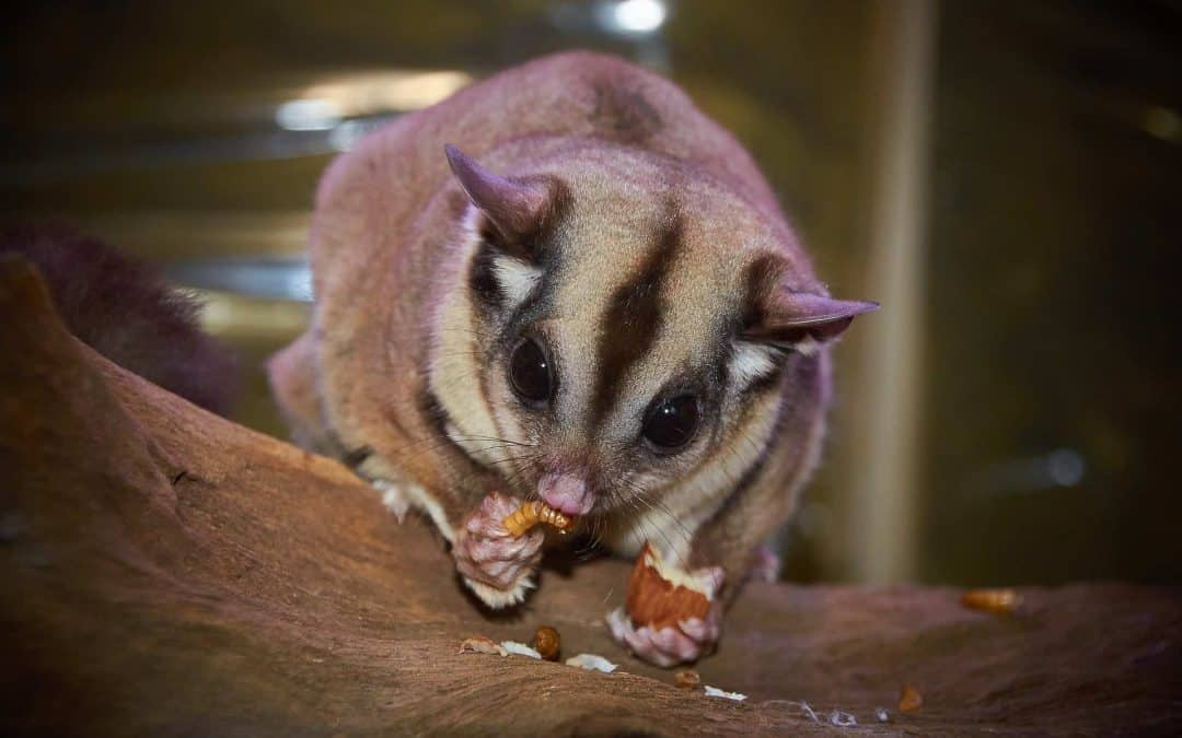 Does Your Sugar Glider Need a Heat Rock? [Quick Guide]