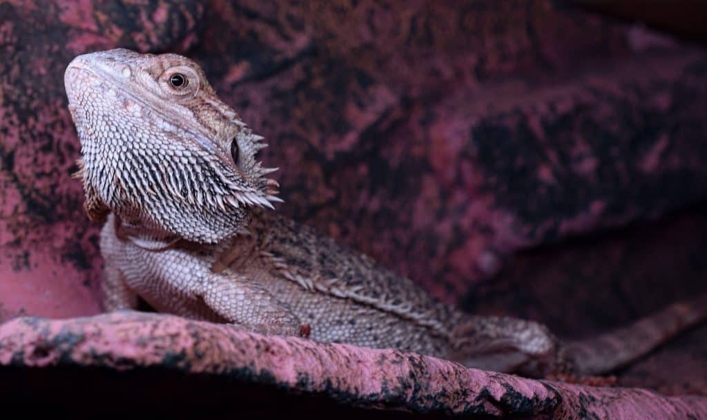 100 exotic names for bearded dragons