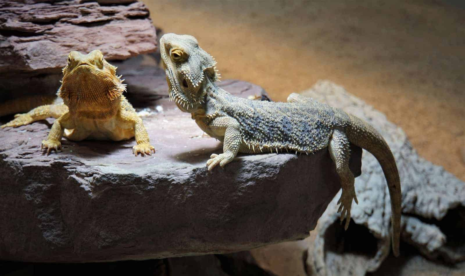 list of exotic names for bearded dragons