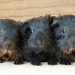 list of guinea pig names beginning with a