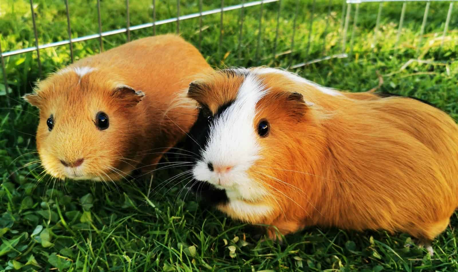 looking for guinea pig names beginning with p