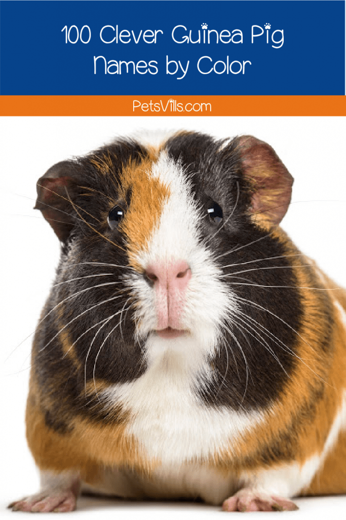 Looking for guinea pig names by color? You come to the right place! We bring you 100 wonderful ideas that will match your adorable pets!