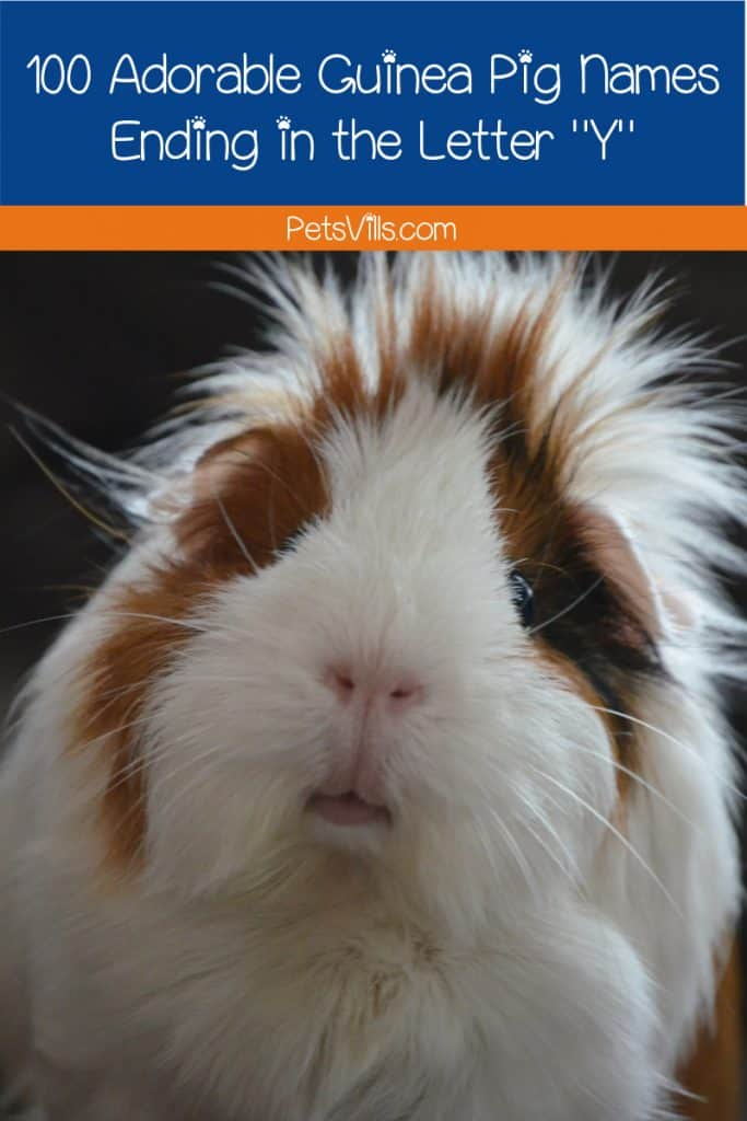 Looking for some guinea pig names that end in Y? Well, we've got 100 ideas for girls and boys that you will surely adore. Read on!