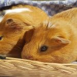 list of guinea pig names that end in y