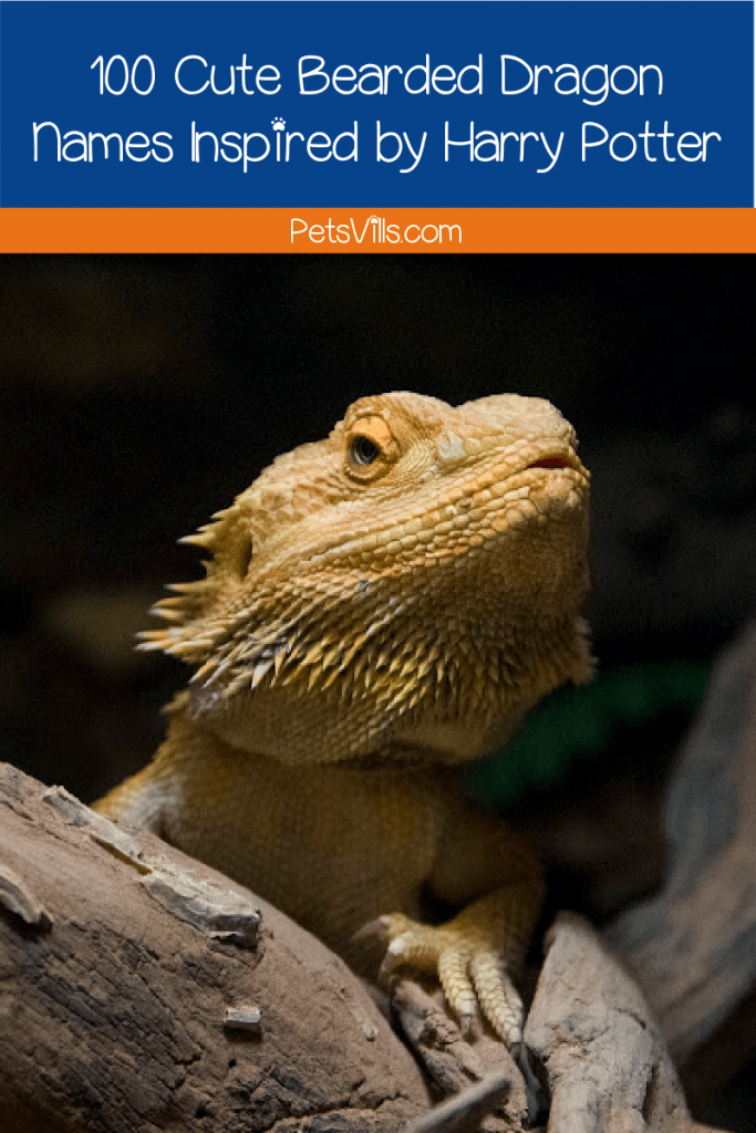 Hunting for some bearded dragon Harry Potter names? Read on as we bring you 100 ideas that are torn right from the Wizarding World!