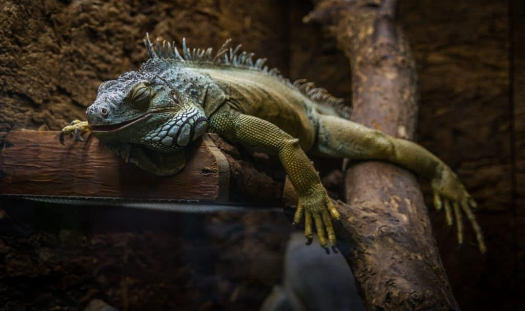 green and gray bearded dragon sleeping on a branch of a tree