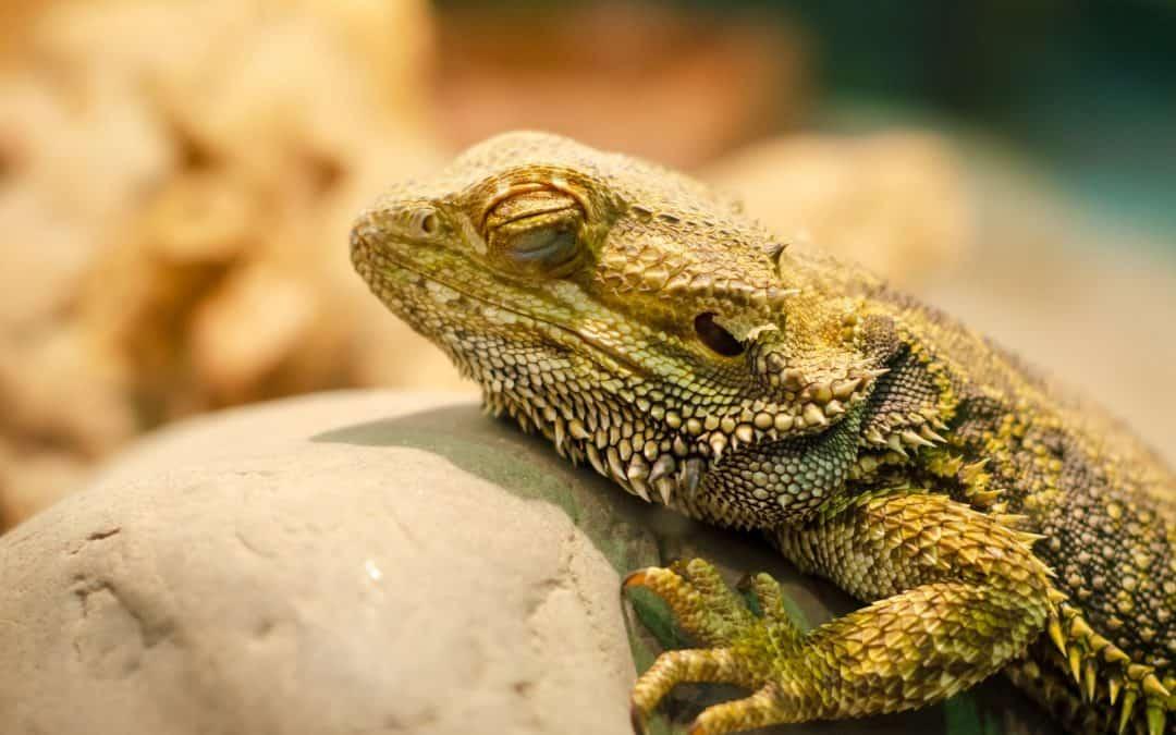 How Do Bearded Dragons Sleep? [Catching Some Z's)