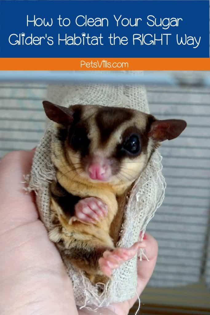Want to know how to properly clean a sugar glider cage? We bring you the best guide to polish your gliders' home for their utmost comfort!