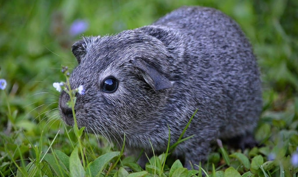 guinea pig names that end in y for girls and boys